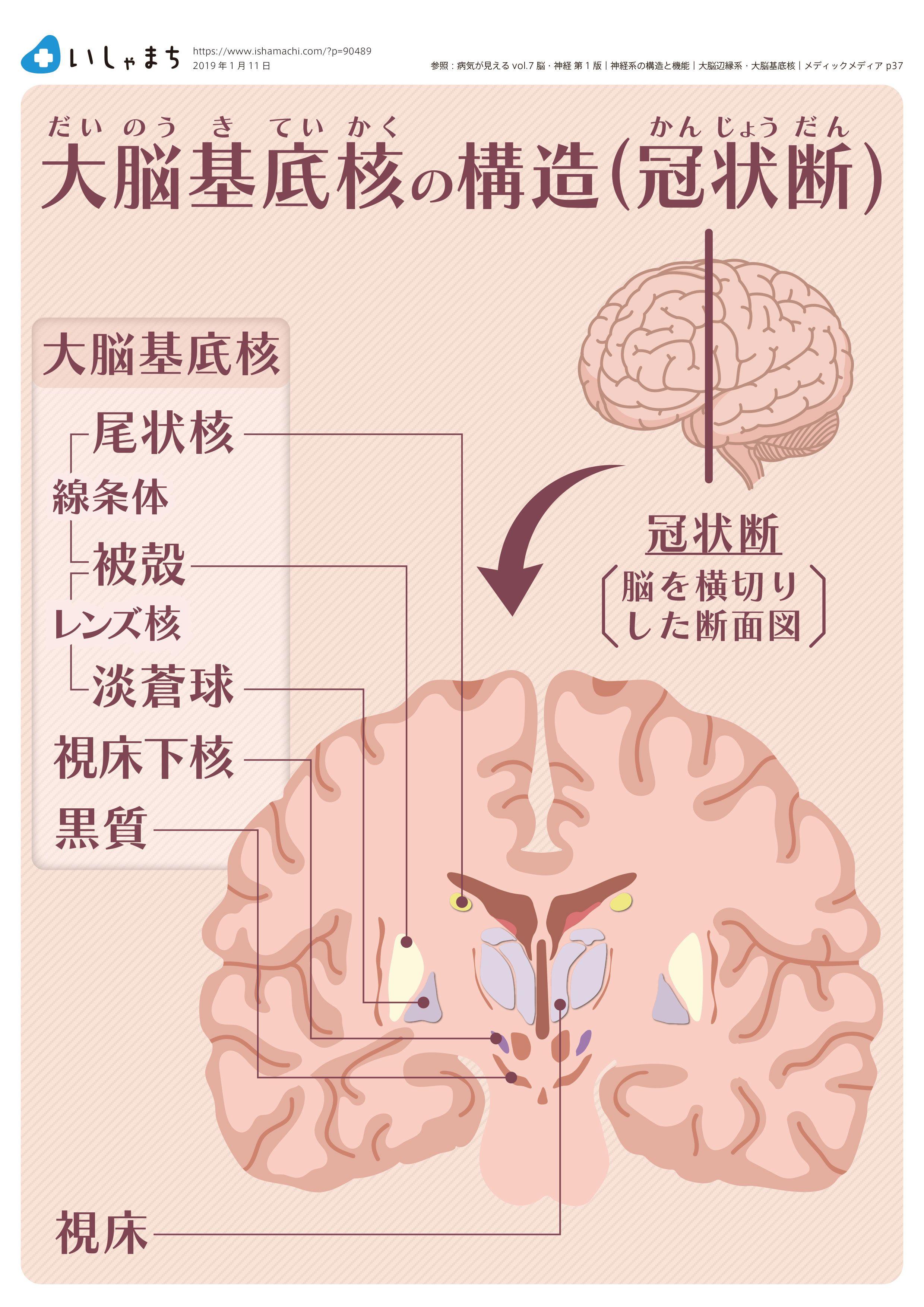 機能 大脳 基底 核