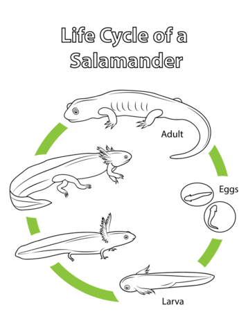Delightful Life Cycle Of A Salamander Coloring Page