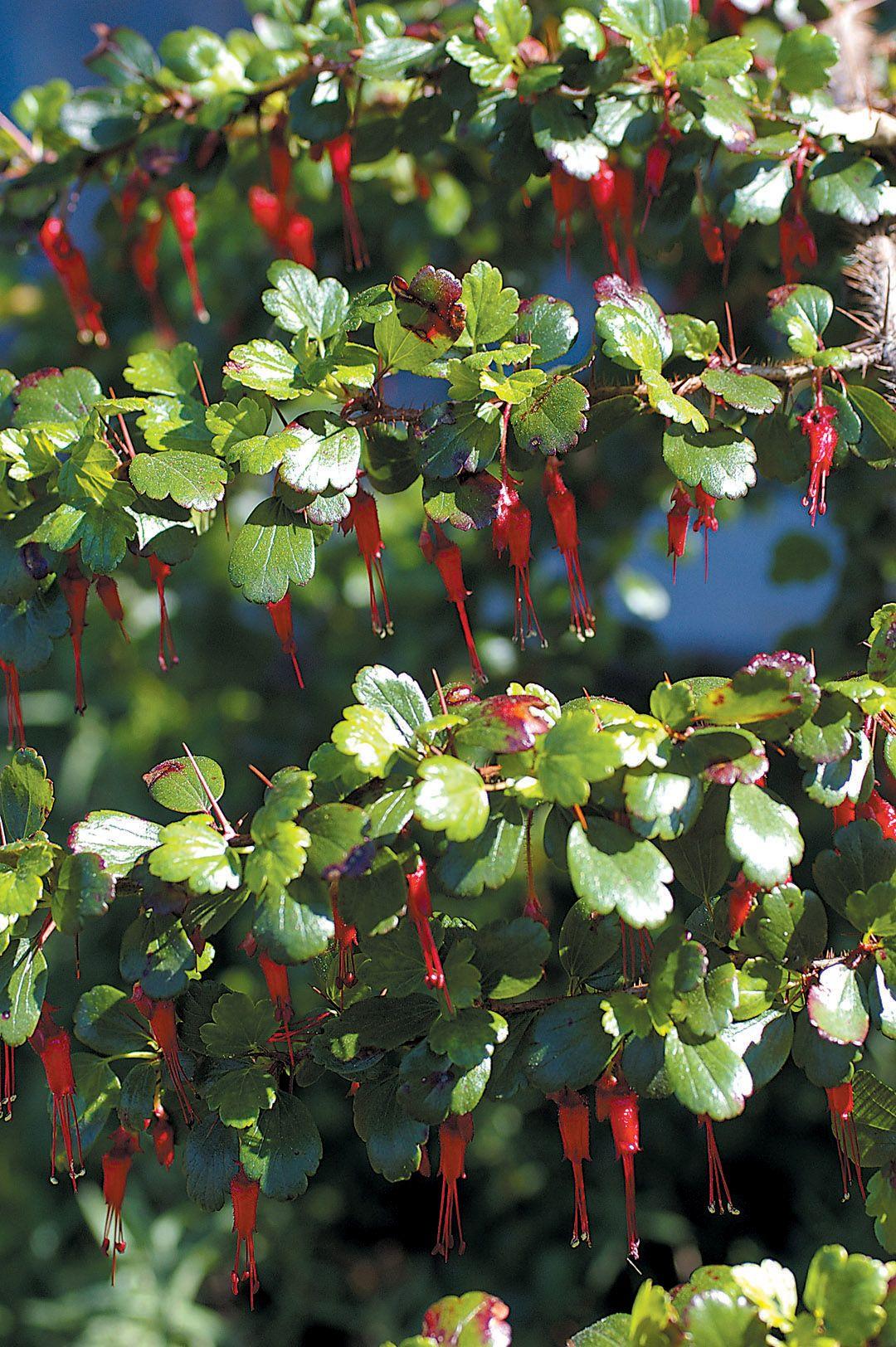 Secrets of gardening: planting gooseberries in autumn