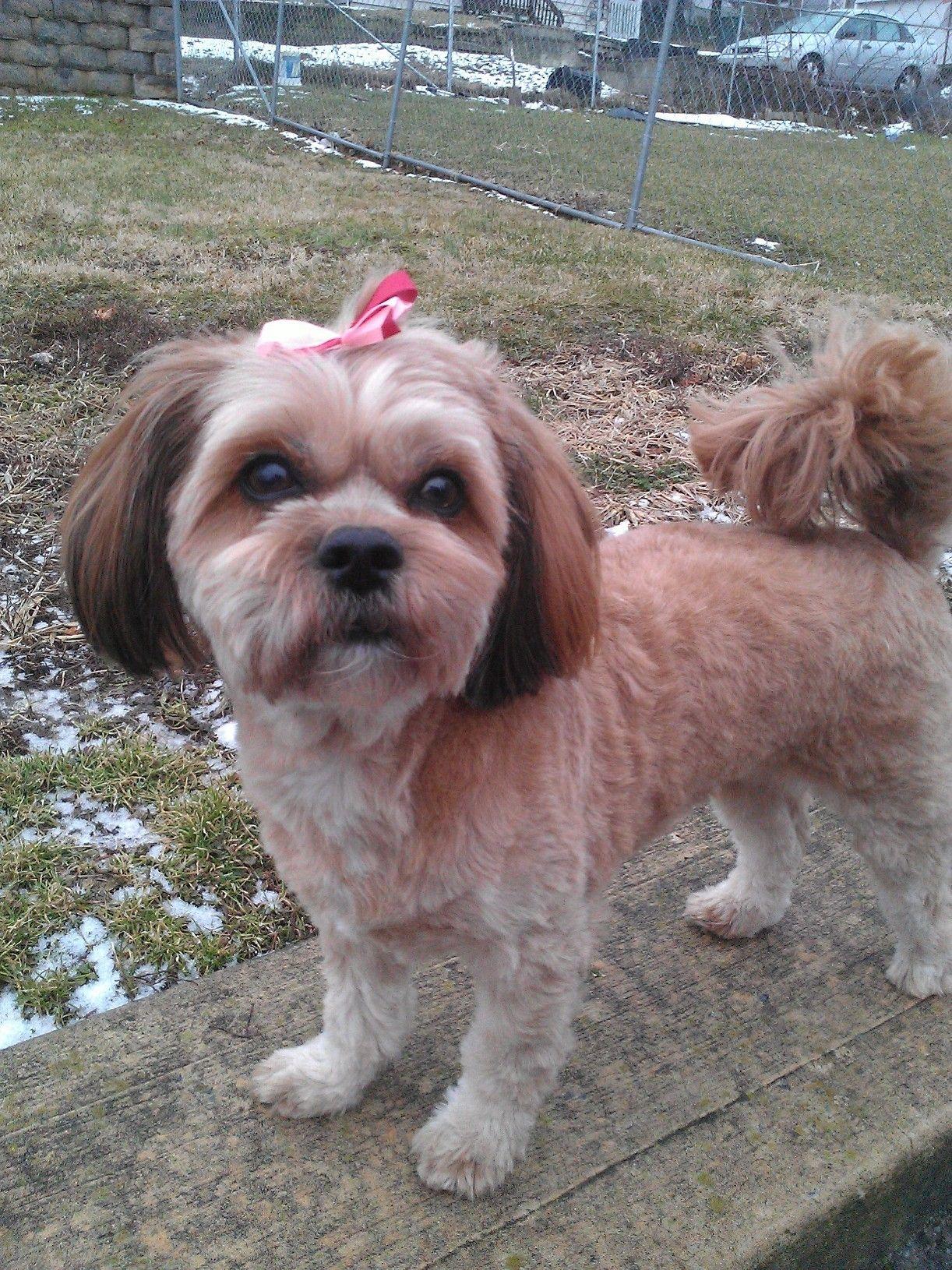 Shitzu Poodle Mix My Chanel 3 Shitzu Poodle Mix Poodle Mix