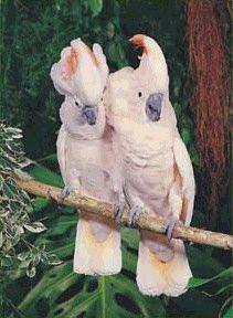 Moluccan Cockatoo | Moluccan Cockatoos