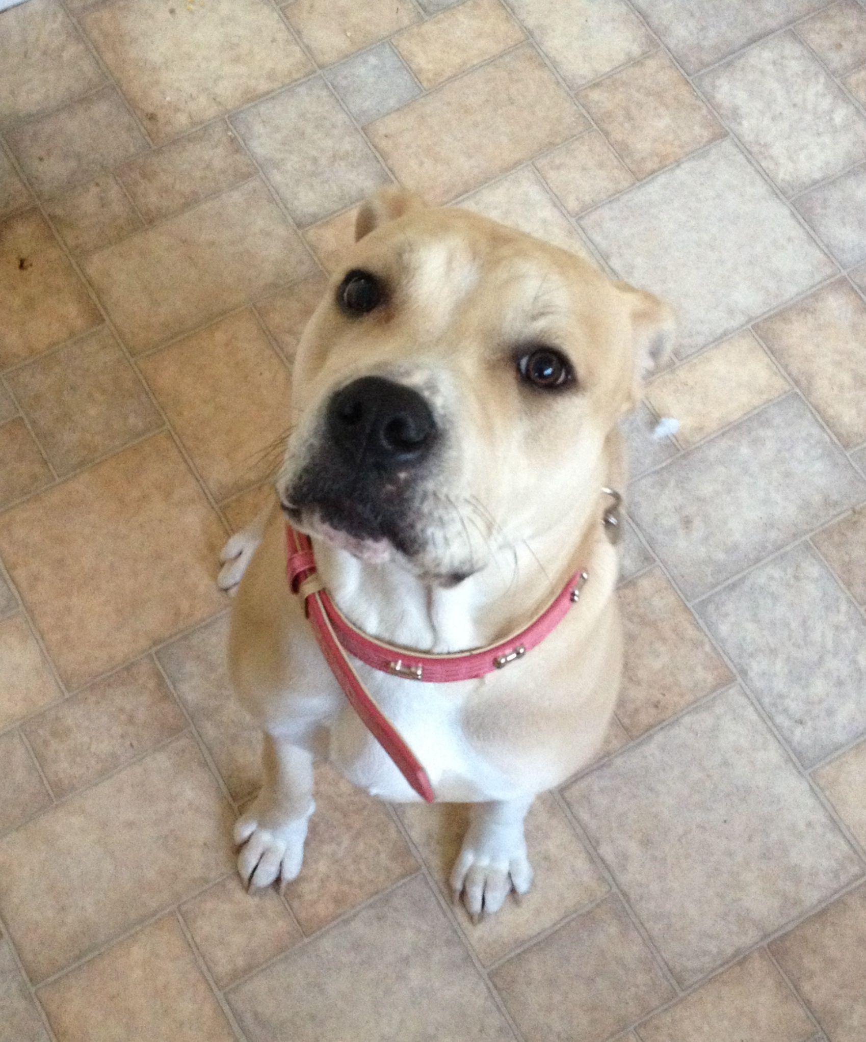tia american bulldog x bullmastiff | dogs | dogs, labrador