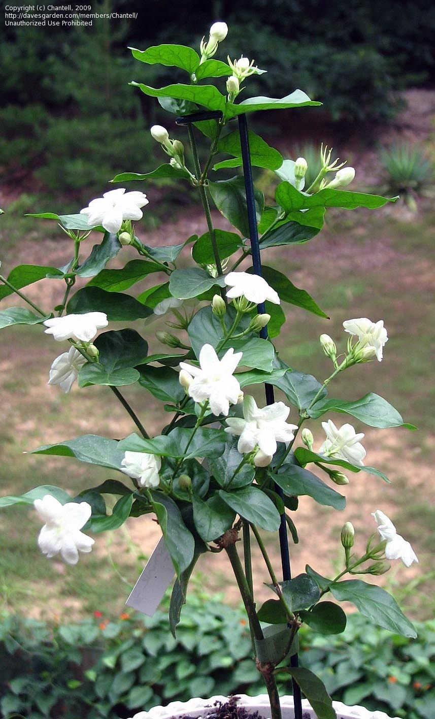 Jasminum Sambac Arabian Jasmine Sampaguita Native To India Pakistan And Bhutan Edible Fragrant Flower Jasmine Plant Fragrant Flowers Fragrant Garden