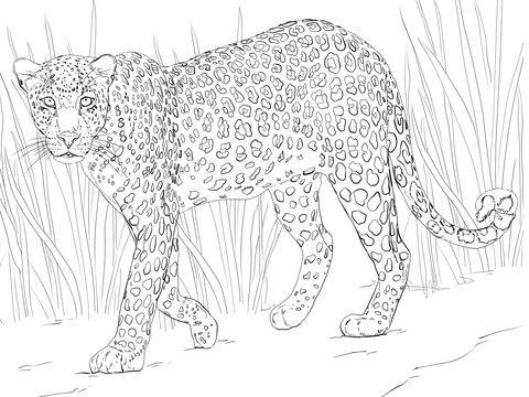 African Leopard Coloring page African leopard, Coloring