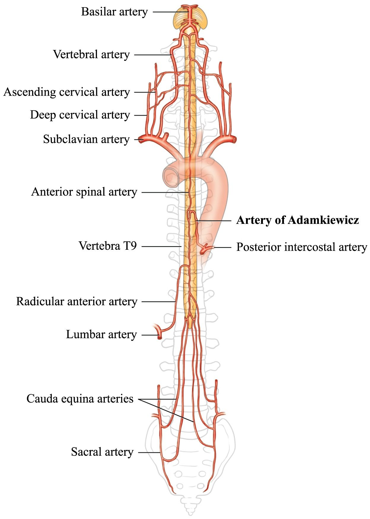 Anatomy of spinal blood supply   Angio   Pinterest