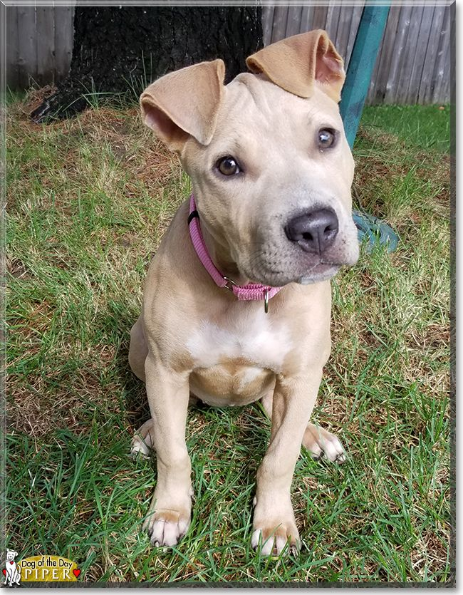 Piper The American Pitbull Terrier The Dog Of The Day Beautiful
