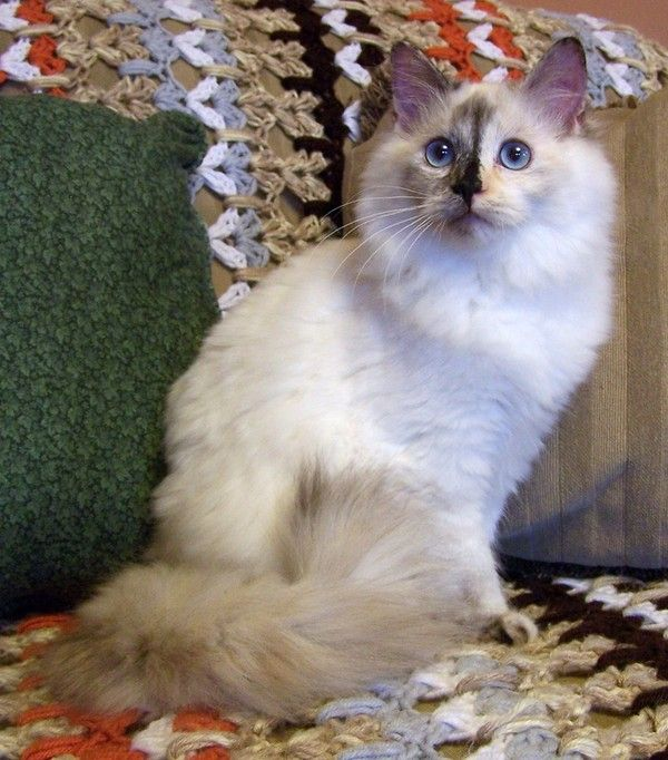 Jypsy Seal Tortie Kittens Ragdoll Cats For Sale Kittens Cutest
