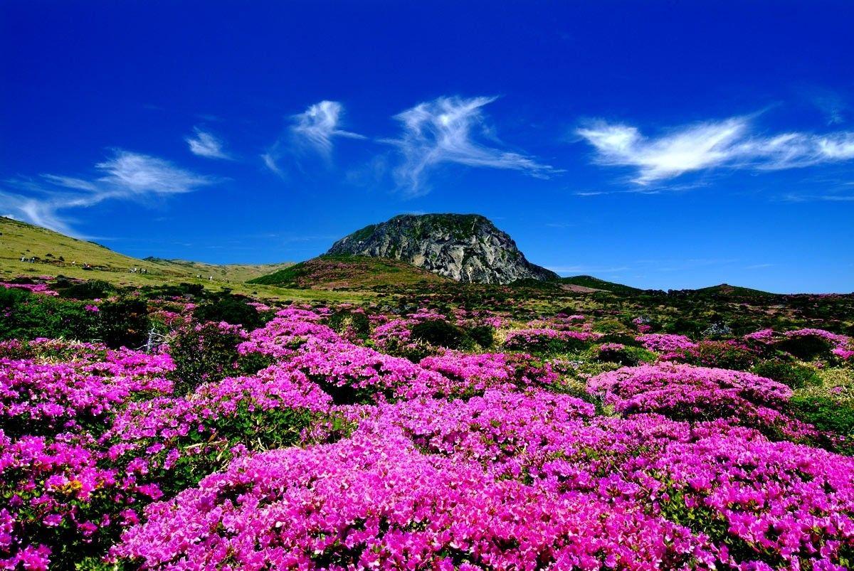 Blossoms South Island Mountain Pink Jeju Landscape Korea Color
