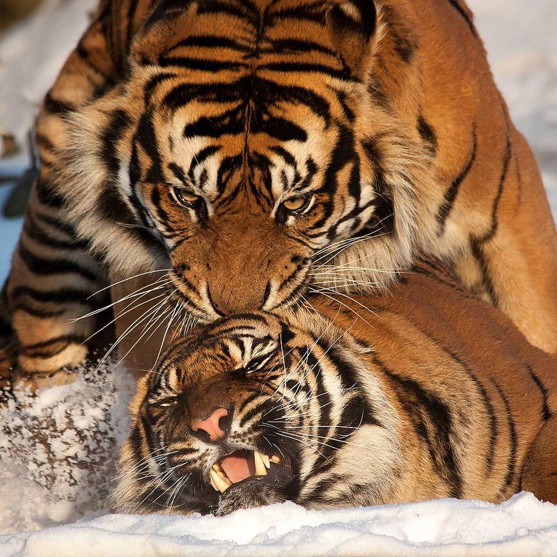 Tiger mating Lazy animals