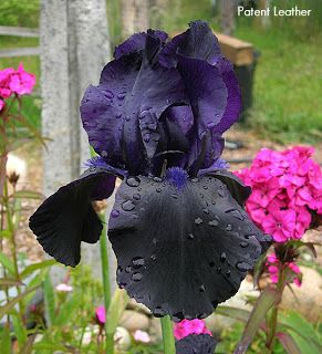 Iris Patent Leather Developed By Schreiners In 1971 Black Flowers Iris Garden Black Iris