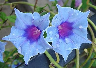 Real Yahoo Auction Salling Morning Glory Flowers Morning Glory Vine Morning Glory