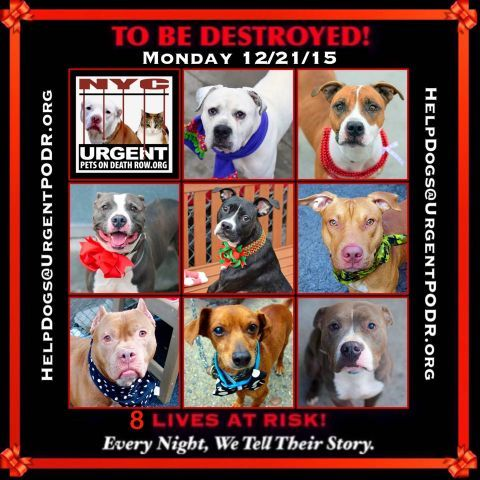 TO BE DESTROYED 12/21/15 - - Info  **TO BE DESTROYED** -  Click for info & Current Status: http://nycdogs.urgentpodr.org/to-be-destroyed-4915/