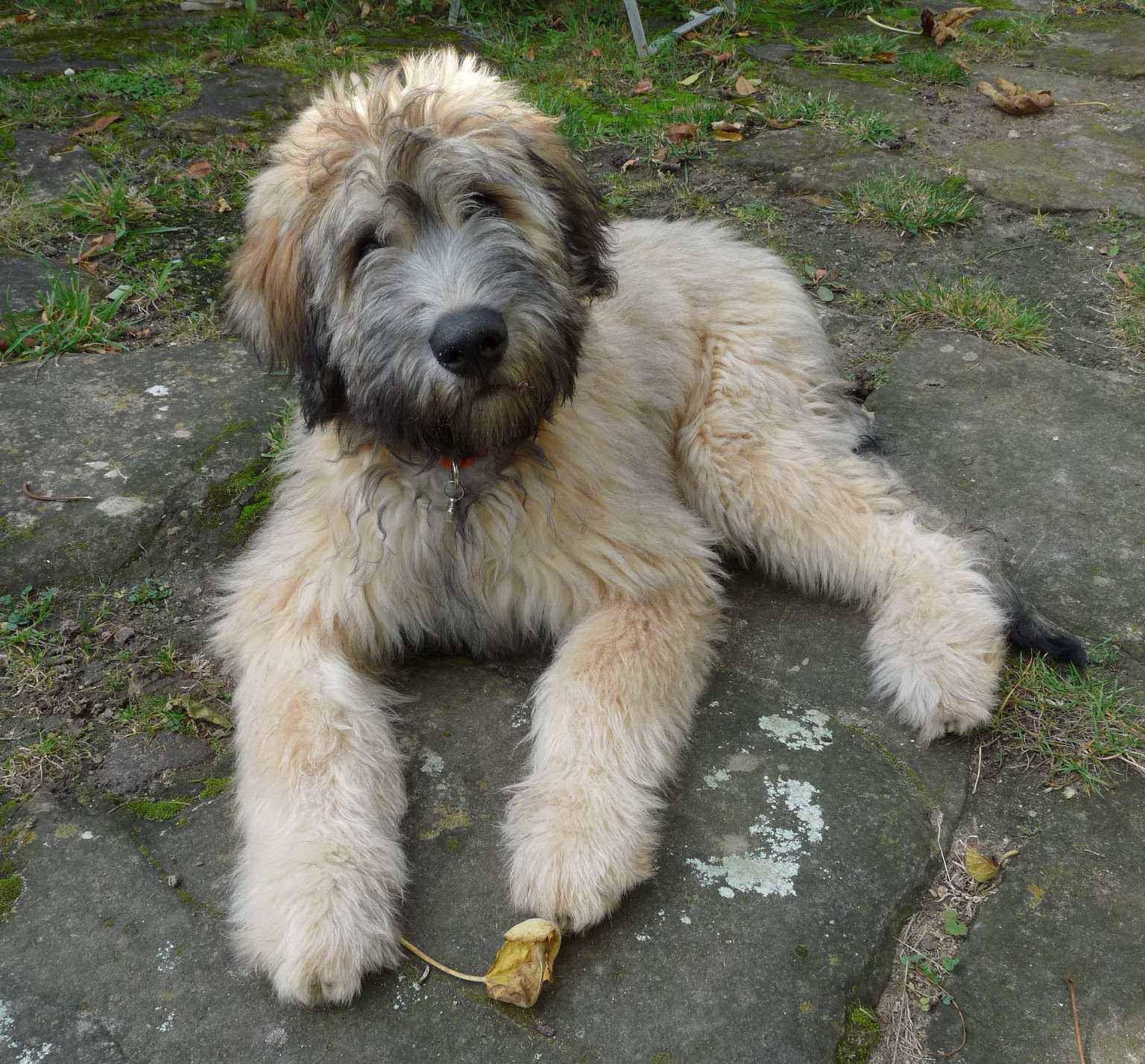 Bouvier Schafpudel Mix Grimaldi Als Welpe Dogs Bouvier Animals