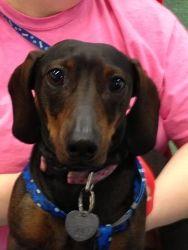 Adopt Bubba On Adoptable Dachshund Dog Adoption Dogs