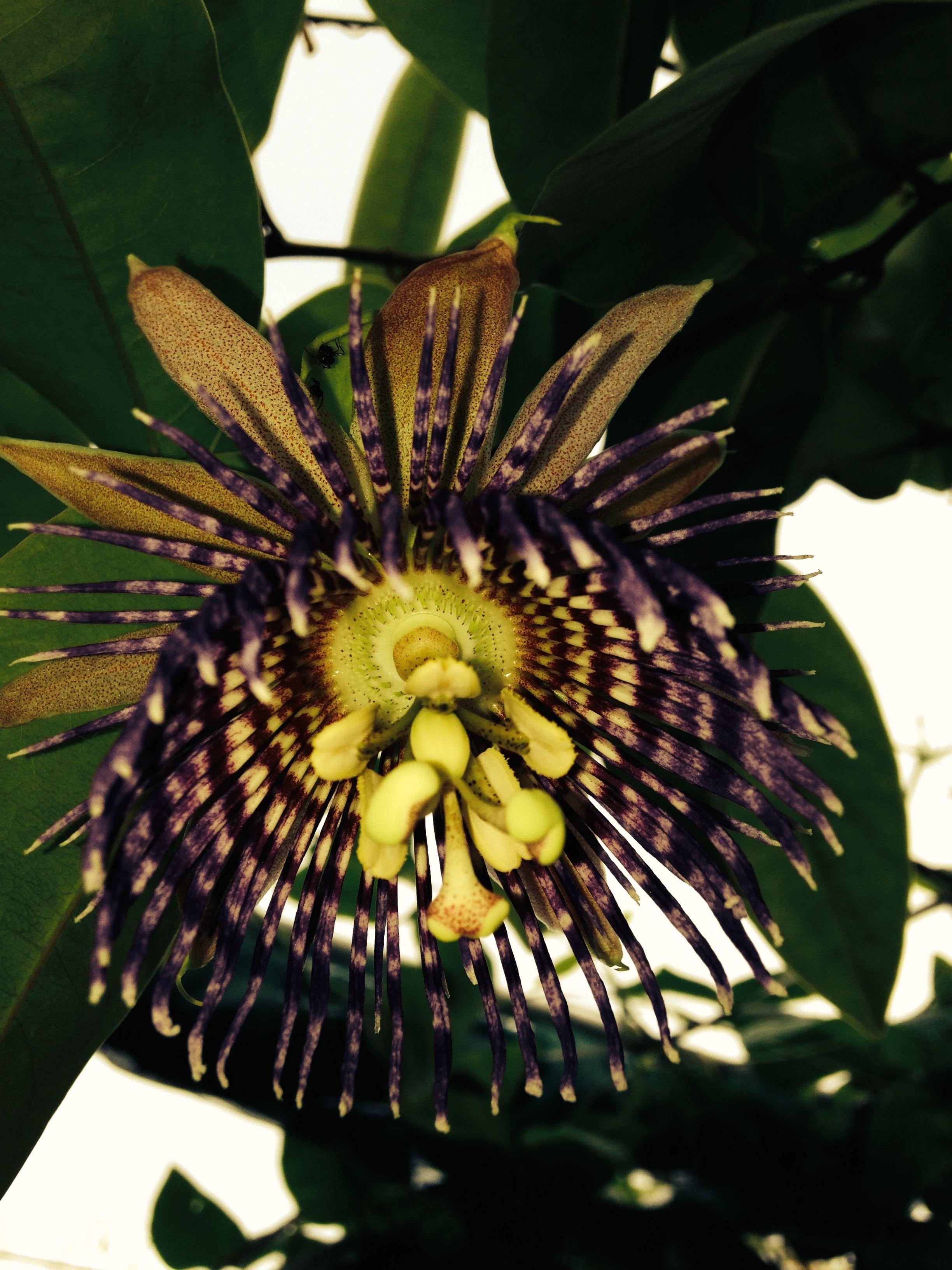 The passion fruit flower looks like something extra