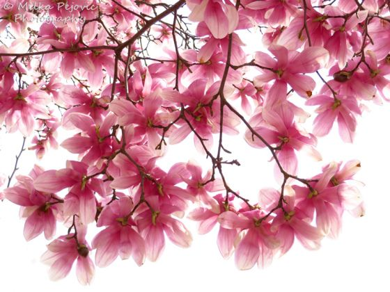 Beautiful Pink Magnolia Tree In Bloom Also Called A Tulip Tree In