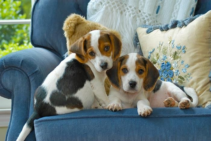Why Baby Shouldn T Walk With A Dog Charlie The Dog Beagle Puppy