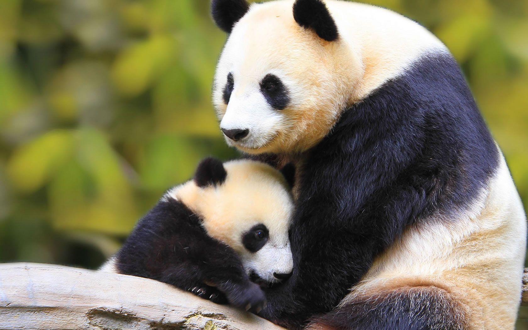 Click para Download de Ursos pandas | Urso Panda | Animais ...