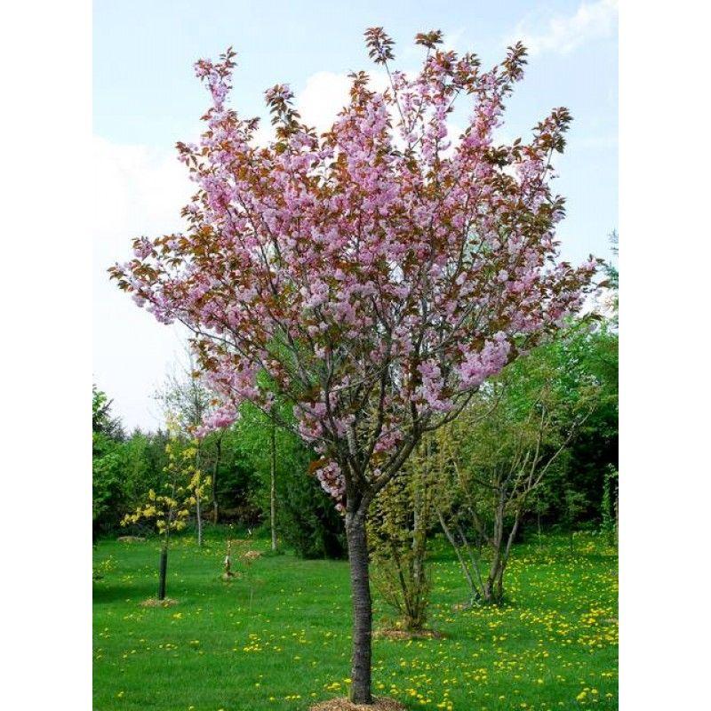 Prunus Serrulata Amanogawa Pflanzen Sitzplatz