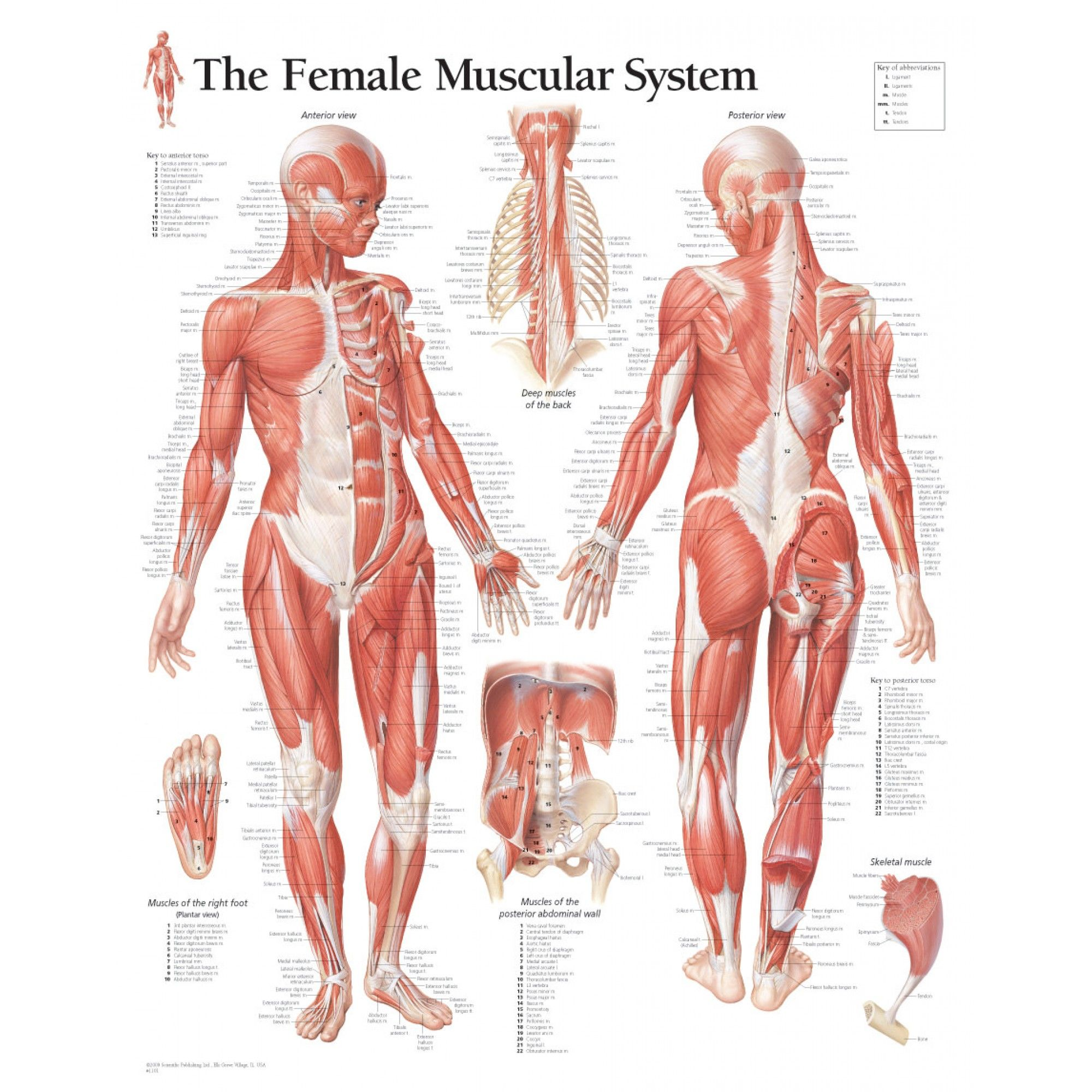 muscular system anatomical chart hd - google search | anatomy, Muscles