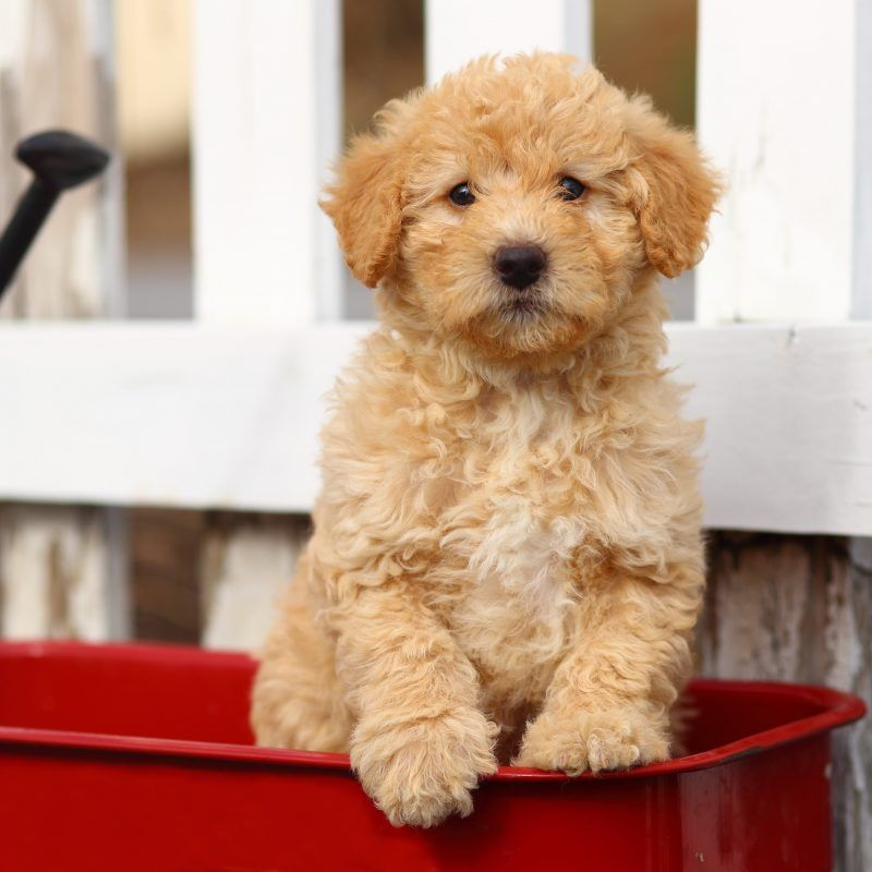 14 Ideal Fencing Ideas Ideas In 2020 Labradoodle Puppy Mini Labradoodle Puppy