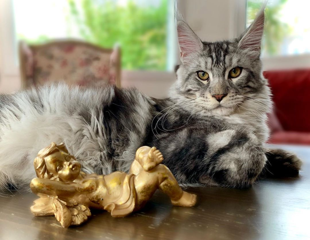 Silver#mainecoon #mainecoonbaby #mainecoonlove #mainecooncats #mainecoon_id #mainecoonhouse...