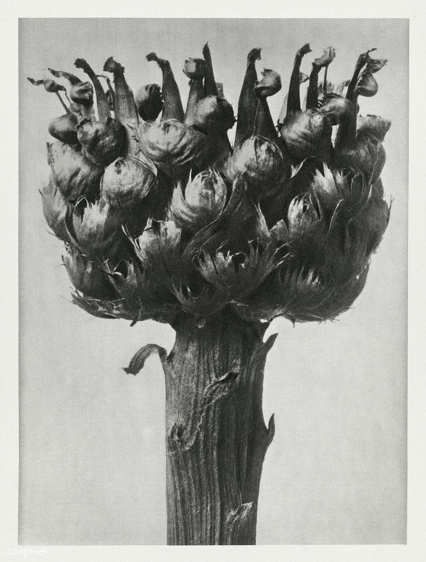 Centaurea Macrocephala Bighead Knapweed Enlarged 5 Times From Urformen Der Kunst 1928 By Karl Blossfeldt Origi In 2020 Karl Blossfeldt Fine Art Botanical Drawings