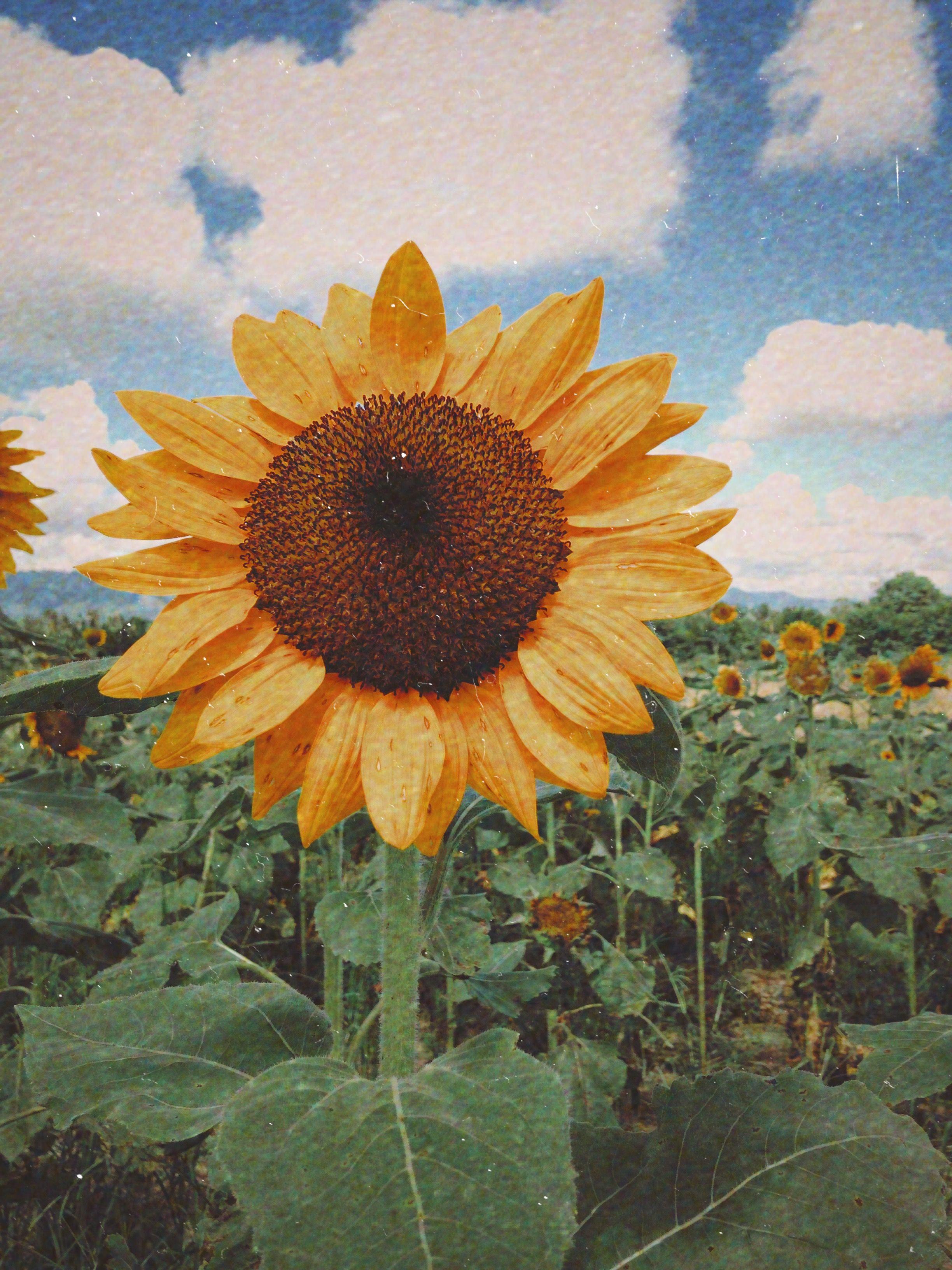 Sunflower sunflowerPH wallpaper sunflowerwallpaper