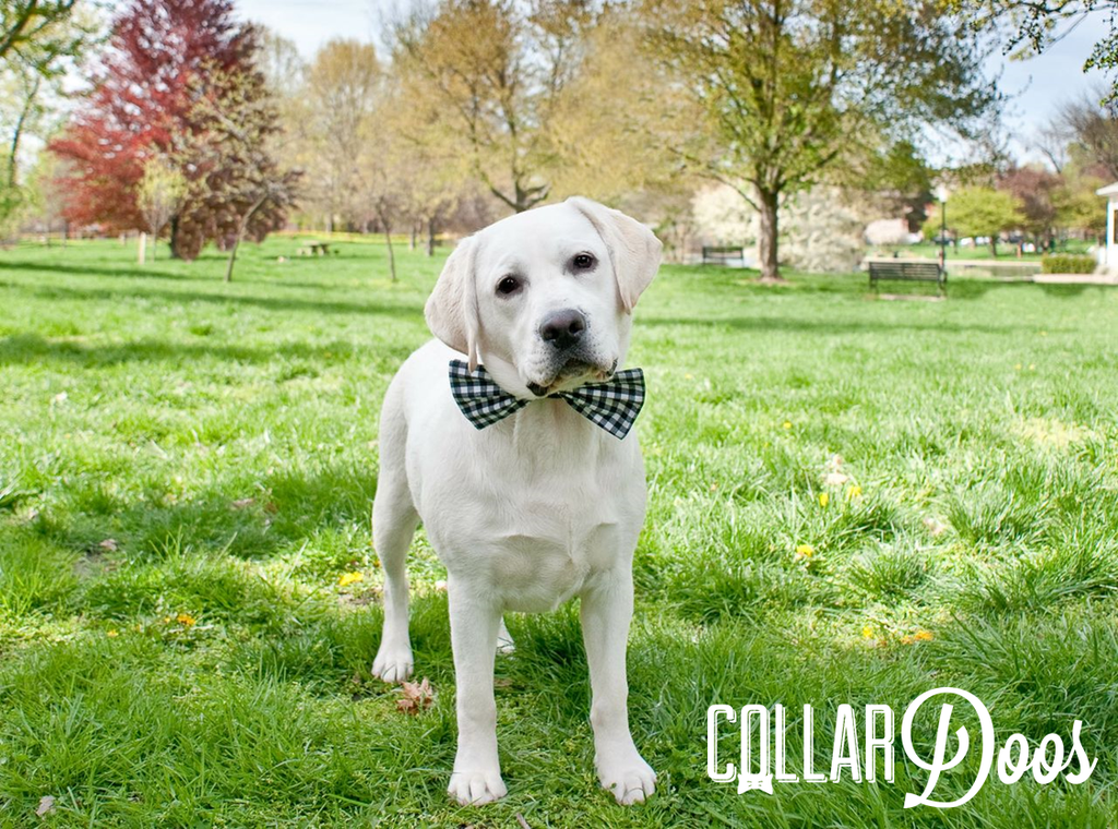 Beautiful Collar Bow Adorable Dog - 2a3abebe53b79471716c4bf2fa6083a0  HD_216745  .png