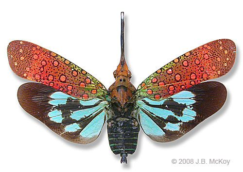 Lantern fly - fulgorid