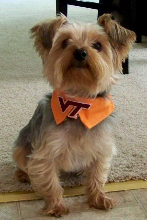 This Yorkie Named Lincoln Is Always Ready For The Next Virginia