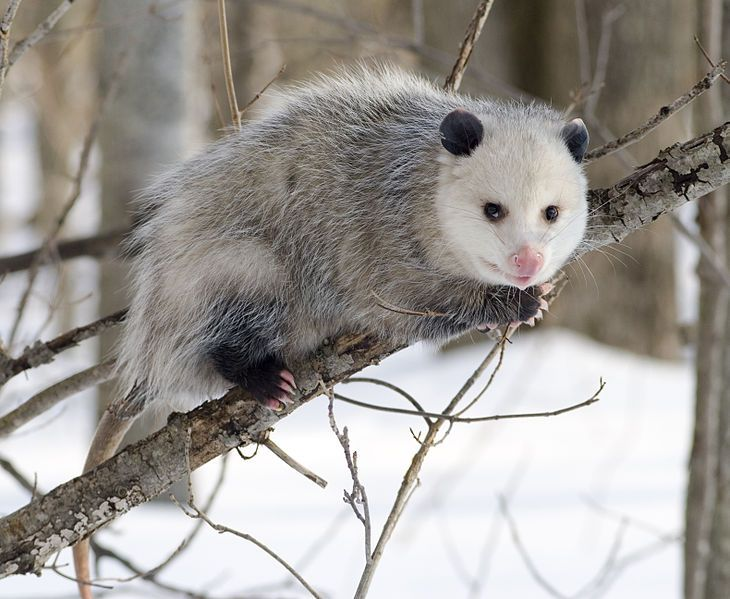 How To Make An Opossum Repellant Opossum Opossum Facts Animals Wild
