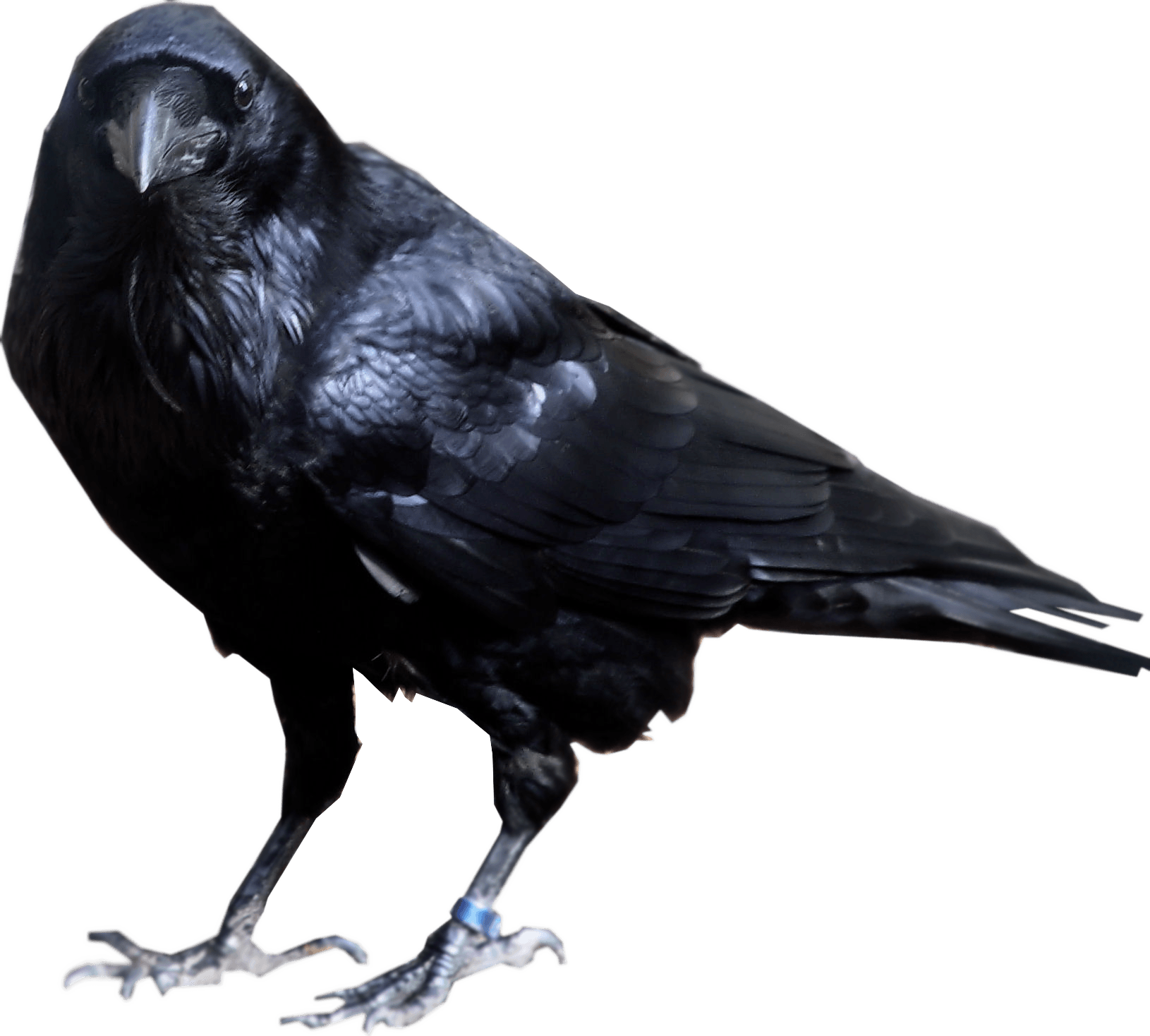 Crow looking into camera PNG Image Crow, Line art