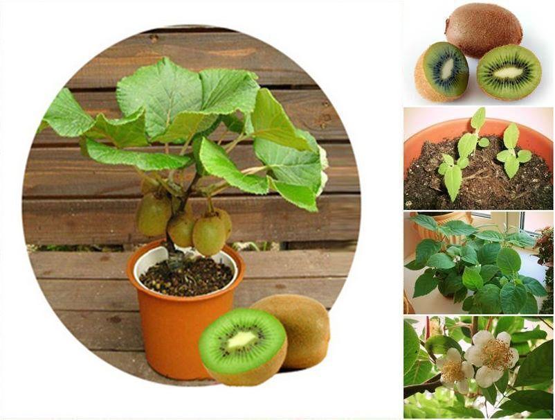 50 Thailand Mini Kiwi Fruit Bonsai Fresh Seeds Delicious Home Fruit Plant Seeds Ebay Bonsai Delicious Ebay Fre Fruit Plants Small Fruit Trees Tree Seeds