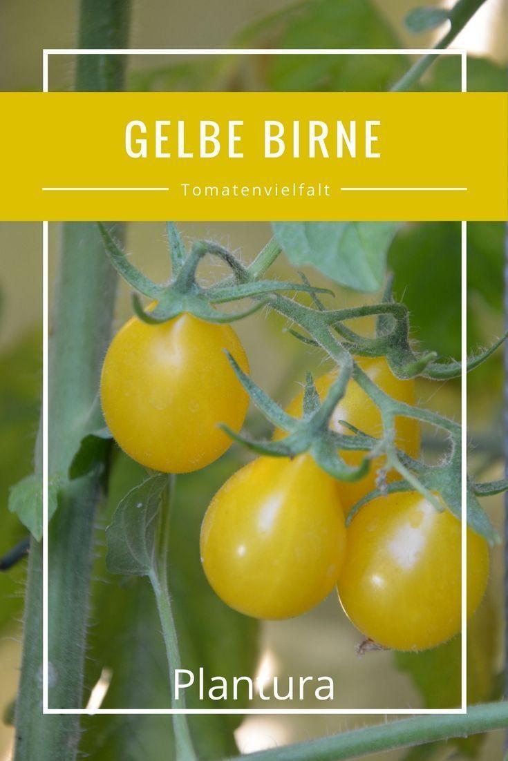Gelbe Birne #tomatenzüchten