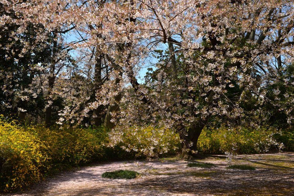 A spring stroll through Shinjuku Gyoen 作者 Fotopedia
