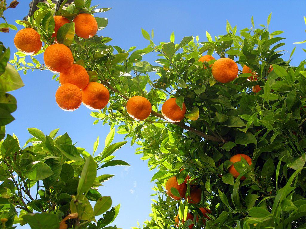 1024px Ronda 08 Orange Tree 4579322771 Jpg 1 024 768 Pixels 果実 美的 アイデア