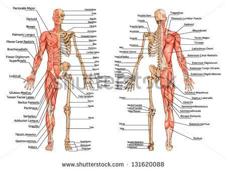 esqueleto humano do ponto de vista posterior e anterior - quadro ...