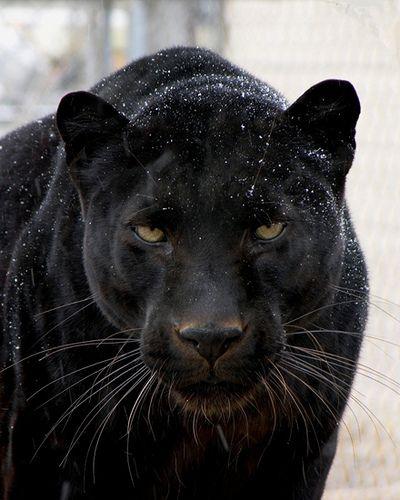 Jamma The Black Panther Animals Beautiful Big Cats Cute Animals