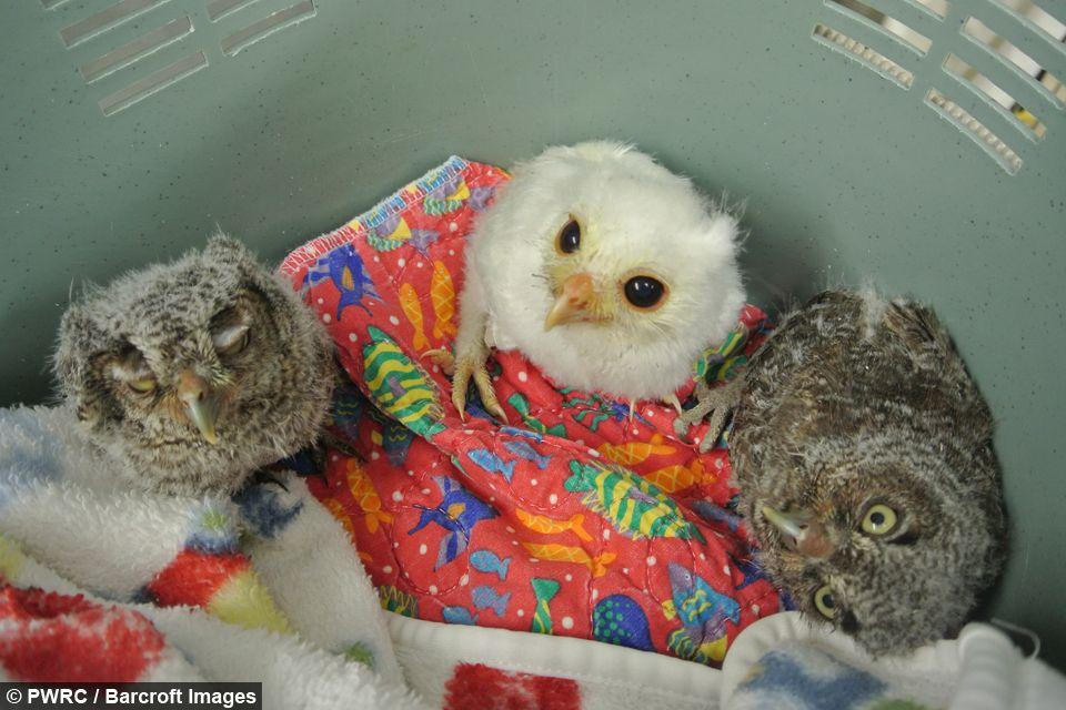 Born Different: Luna the albino screech owl