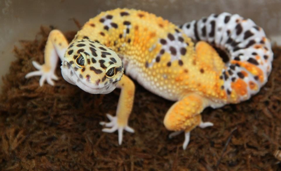 My Colorful Assortment Of Leopard Geckos Leopard Gecko Reptiles Pet Leopard Gecko Care