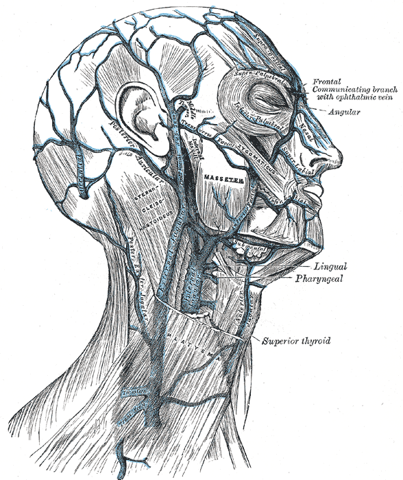Gray557 Platysma Muscle Wikipedia The Free Encyclopedia New