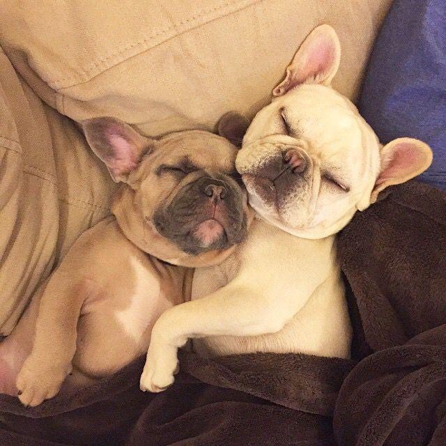 Sweet Dream Cute French Bulldog French Bulldog Puppies Bulldog