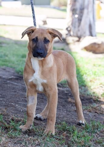 Meet Mikaela Belgian Shepherd Malinois Labrador Retriever Mix 5 Months Old Adoptable At The Barking Lot Belgian Malinois Dog Malinois Dog Dogs