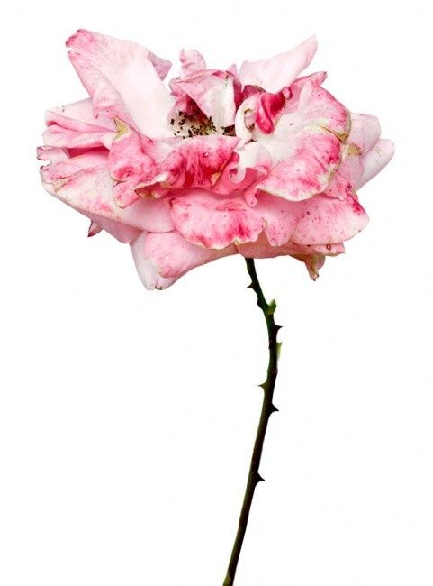 rose pinned with Bazaart