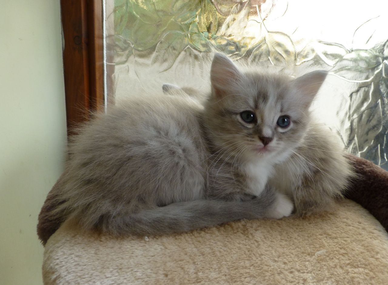 ♥CG♥ 135 Ragamuffin Kitten | CAT GALLERY I | Pinterest ...