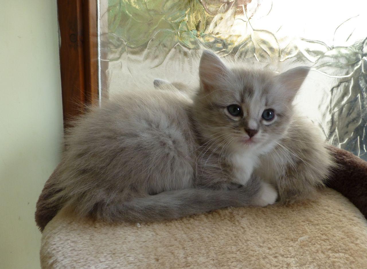 ♥CG♥ 135 Ragamuffin Kitten CAT GALLERY I