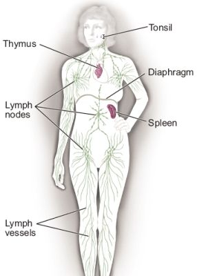 What Are The Components Of The Lymphatic System