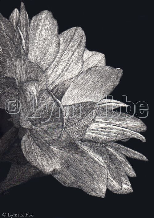 Pelee Mum, scratchboard (available)