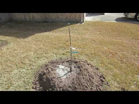 How To Plant A Bare Root Fruit Tree Off The Grid Living